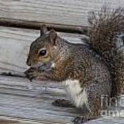 Eastern Gray Squirrel-4 Art Print