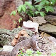 Eastern Grey Squirrel  Art Print