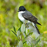 Eastern Kingbird Art Print