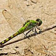 Eastern Pondhawk Dragonfly Art Print