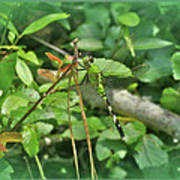Eastern Pondhawk Female Dragonfly - Erythemis Simplicicollis - On Pine Needles Art Print