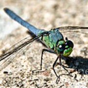 Eastern Pondhawk Side Art Print