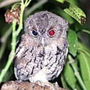 Eastern Screech Owl 2 Art Print