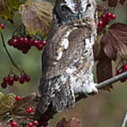 Eastern Screech Owl Red And Gray Phases Art Print