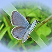 Eastern-tailed Blue Butterfly - Cupido Comyntas Art Print