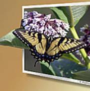 Eastern Tiger Swallow Tail Art Print