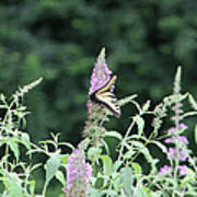 Eastern Tiger Swallowtail Butterfly -  Featured In Wildlife Group Art Print