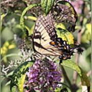 Eastern Tiger Swallowtail - Butterfly Art Print