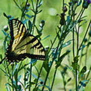 Eastern Tiger Swallowtail Ins 76 Art Print