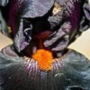 Ebony Iris Art Print