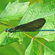 Ebony Jewelwing Damselfly - Calopteryx Maculata Art Print