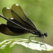 Ebony Jewelwing Fluttering For Male Art Print