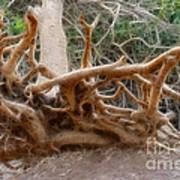 Eccentric Tree Root Growing In Ein Gedi Art Print