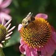 Echinacea And Bee Art Print