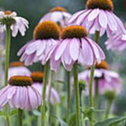 Echinacea Purpurea Art Print