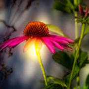 Echinacea Sunrise Art Print