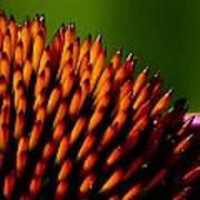 Echinacea Up Close Art Print