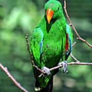 Eclectus Parrot-1 Art Print