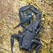 Ecuadorian Black Scorpion Art Print