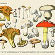 Edible Mushrooms, Victorian Botanical Art Print