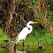 Egret And Ducks Art Print by Will Boutin Photos
