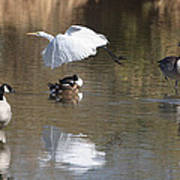 Egret And Geese At Gilbert  Riparian Preserve Art Print