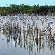 149838-egrets Feeding, Everglades Nat Park  Art Print