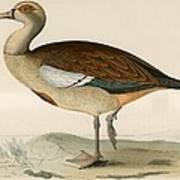 Egyptian Goose Art Print
