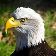 Bald Eagle Head Shot One Art Print