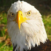 Bald Eagle Head Shot Two Art Print