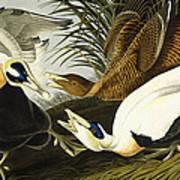 Eider Ducks Art Print