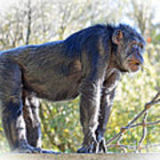 Elderly Chimpanzee Art Print