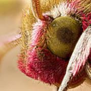 Elephant Hawk Moth Extreme Macro Art Print