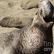 Elephant Seal Art Print