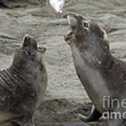 Elephant Seal Confrontation Art Print