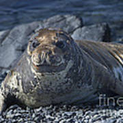 Elephant Seal Pup... Art Print