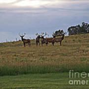 Elk 2 Art Print