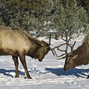 Elk  Bulls Fighting In Yellowstone Art Print