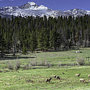 Elk Cows In Beaver Meadows Art Print by Tom Wilbert