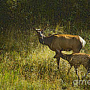Elk Doe And Fawn-signed  #4465 Art Print