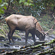 Elk Drinking Water From A Stream Art Print