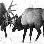 Elk Fighting Black And White Art Print