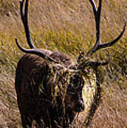 Elk Hairdo Art Print