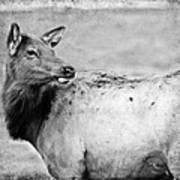 Elk IIi Art Print