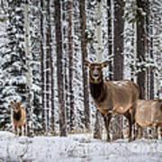Elk In Jasper Art Print
