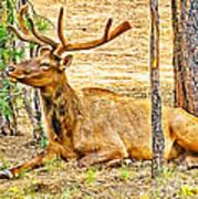 Elk In Kiabab National Forest Arizona Art Print