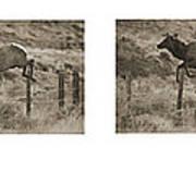 Elk Jumping A Fence Art Print