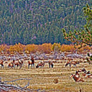 Elk Near Cub Lake Trail In Rocky Mountain National Park-colorado  Art Print