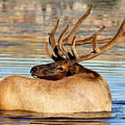 Elk Velveteen  Art Print