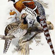 Elliot's Pheasant Print by Joseph Wolf